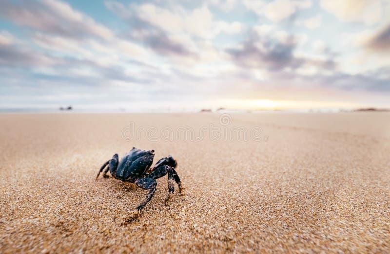 O artrópode engraçado do caranguejo olha no nascer do sol no tempo do amanhecer imagem de stock