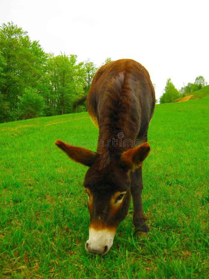 O asno bonito pasta na grama verde em um campo fotografia de stock