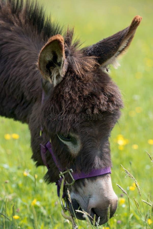 O asno Dinky pasta na grama, balizas de Brecon imagem de stock royalty free