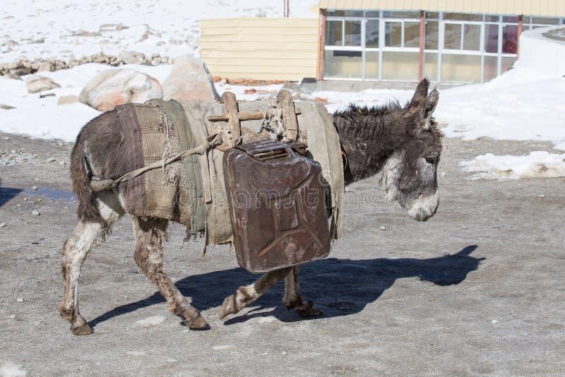 O asno está levando latas do combustível nas montanhas na estrada Leh - Manali, Ladakh, Índia fotos de stock