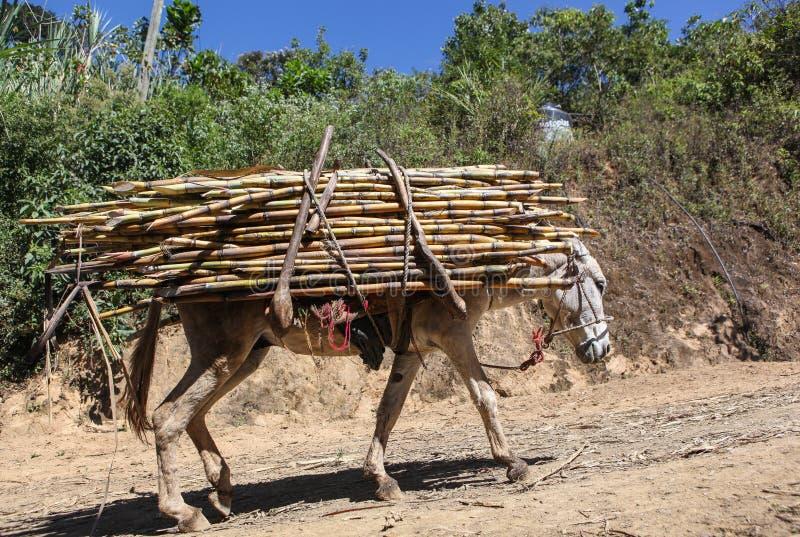 O Asno Leva Um Pacote De Cana-de-açúcar Foto de Stock - Imagem de alaranjado, escuro: 84869776
