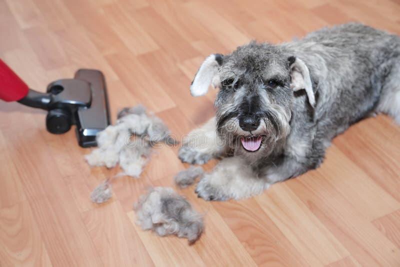O aspirador de p30, a bola do cabelo de lãs do revestimento do animal de estimação e o cão do schnauzer no assoalho Derramamento  imagens de stock royalty free