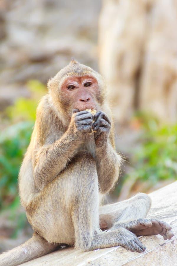 O assento bonito do macaco e aprecia comer o milho fresco fotografia de stock royalty free