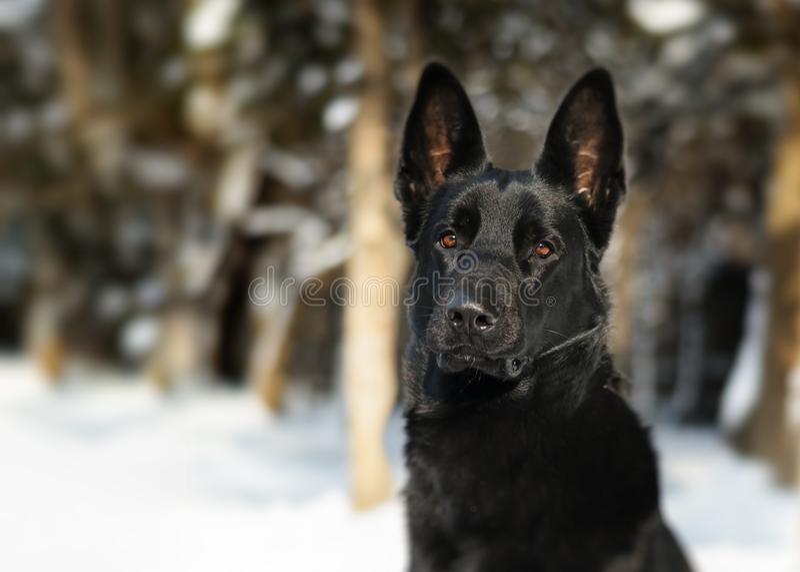 O assento forte preto do cão e considera a floresta da neve da natureza fotos de stock royalty free