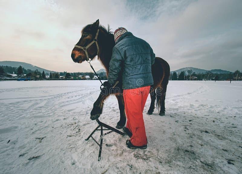 O assistente do Farrier mantém o cavalo marrom com pé dianteiro no tripé de aço fotos de stock