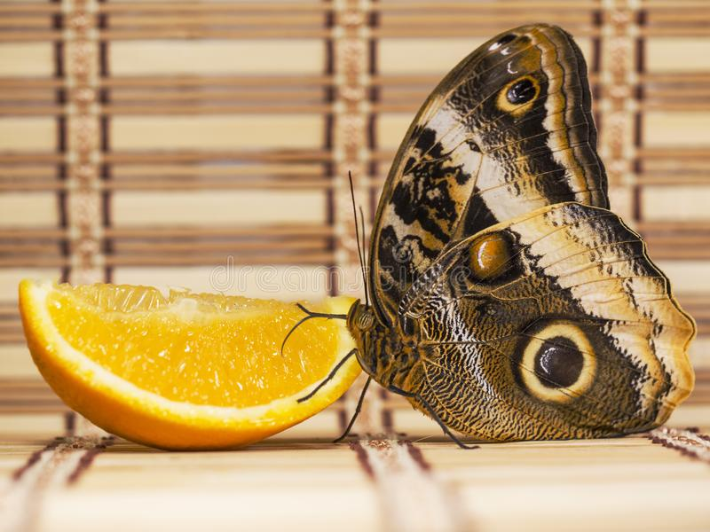 o atreus gigante Amarelo-afiado de Caligo da borboleta da coruja alimenta na laranja na folha de prova da palha imagem de stock royalty free