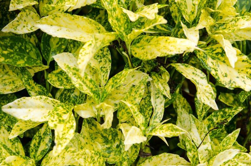 O aucuba, um sempre-verde com a beleza de suas folhas verde-amarelas coloridas e variegated imagem de stock