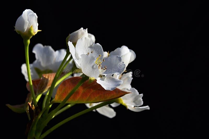 O avium branco do Prunus da árvore de cereja floresce no fundo escuro durante a flor do dia ensolarado da mola imagem de stock royalty free
