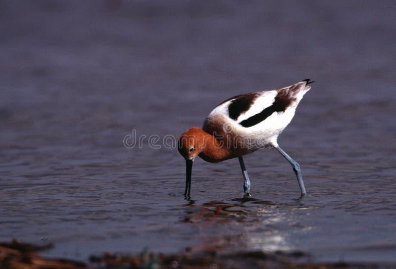 O Avocet americano em produzir a plumagem forrageia na borda de um caldeirão fotos de stock