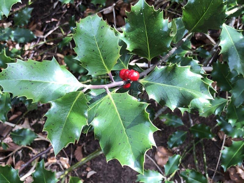 O azevinho comum, o azevinho inglês, o azevinho europeu, ou ocasionalmente do azevinho do Natal aquifolium do Ilex, morrem Europà fotografia de stock