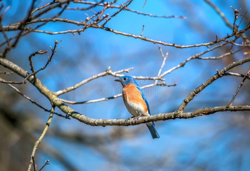 O azulão-americano oriental colorido empoleirou-se em um ramo de árvore na primavera fotografia de stock