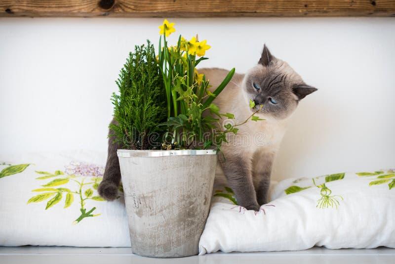 O azul brincalhão bonito eyed o gatinho siamese que aspira flores em pasta da mola Adote um animal de estimação imagens de stock