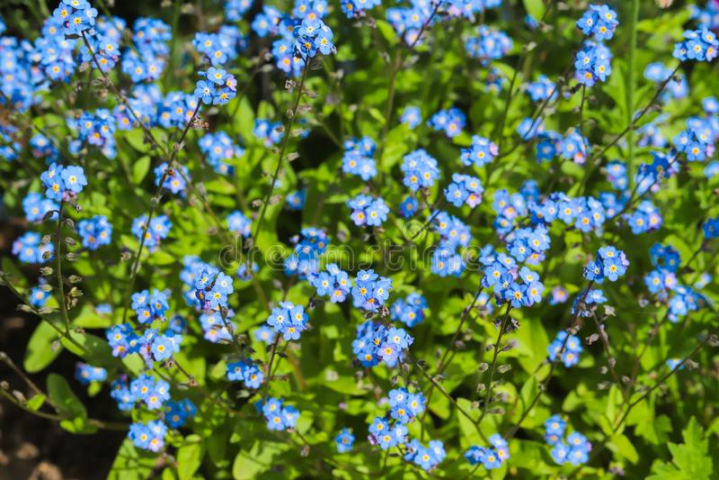 O azul esquece-me não arvensis do Myosotis da flor imagens de stock royalty free