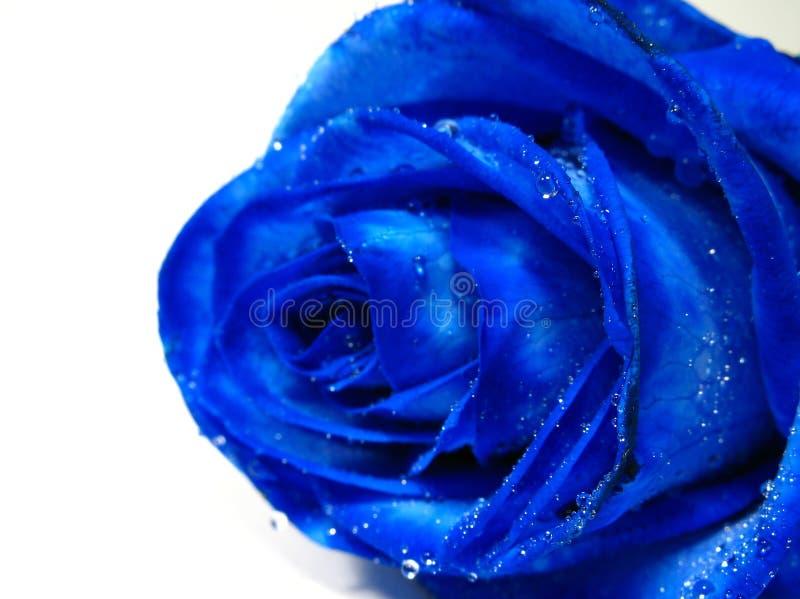 O azul levantou-se com gotejamento da água imagem de stock royalty free
