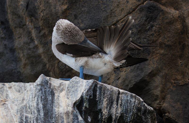 O azul pagou o peito que senta-se nas rochas nas Ilhas Galápagos fotografia de stock