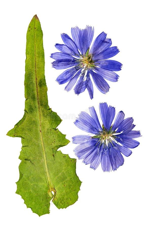 O azul pressionado e secado floresce a chicória ou o cichorium Isolado imagem de stock