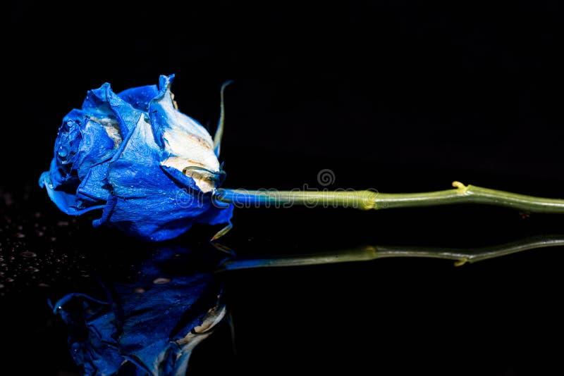 O azul refletindo aumentou com waterdrops na superfície escura brilhante foto de stock