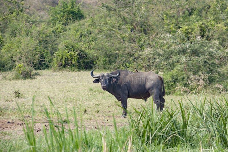 O búfalo africano com oxpecker suporta sobre na paisagem da rainha Elizabeth Park, Uganda foto de stock