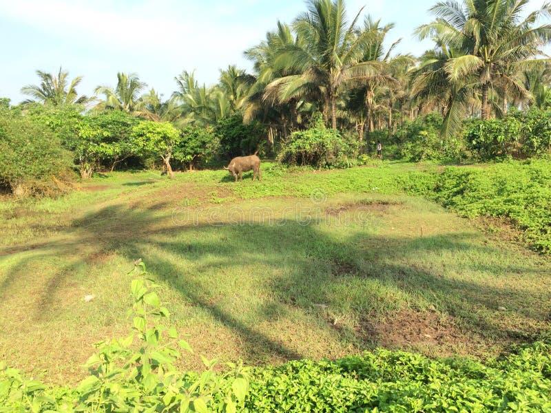 o búfalo-da-índia fotografia de stock royalty free