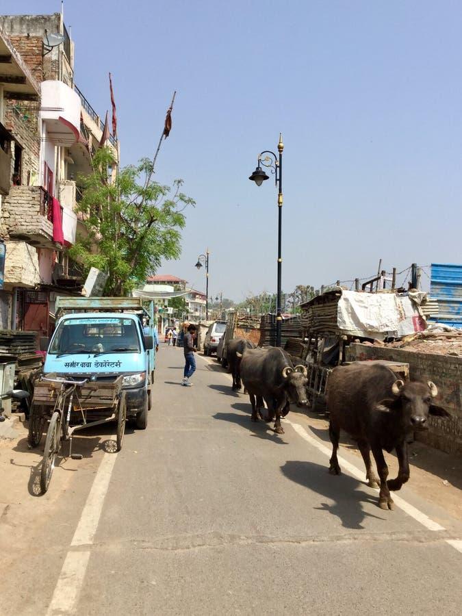 O búfalo de água anda as ruas em Varanasi, Índia imagens de stock