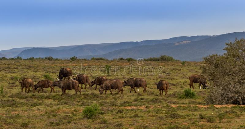 O búfalo do cabo vagueia os montes em África do Sul foto de stock royalty free