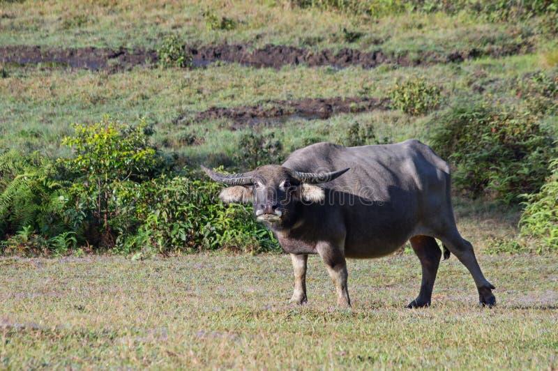 O búfalo selvagem vive na floresta do pinho, tem um hábito da vida na parte 5 das pastagem imagem de stock