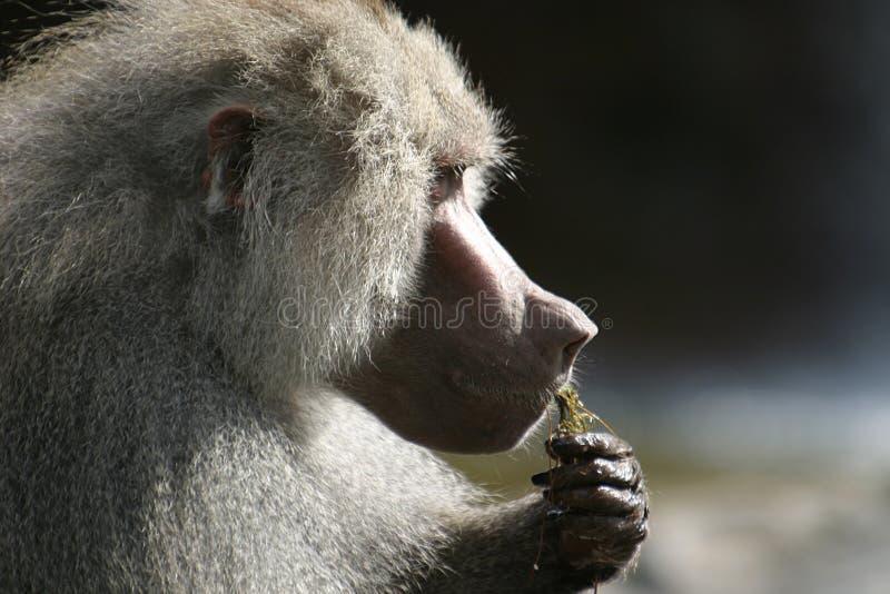 O babuíno de Hamadryas está comendo fotos de stock