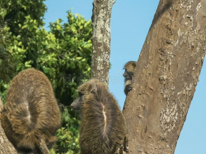O babuíno do bebê salta a um tronco de árvore no Masai mara imagem de stock royalty free