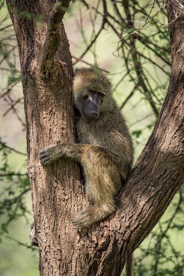 O babuíno verde-oliva senta-se nos ramos da árvore imagem de stock royalty free
