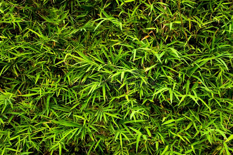 O bambu brilhante sae do fundo Papel de parede natural do verão fresco imagem de stock