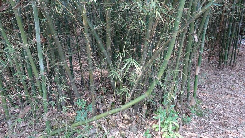O bambu foi ferido, mas ainda cresce acima imagem de stock royalty free