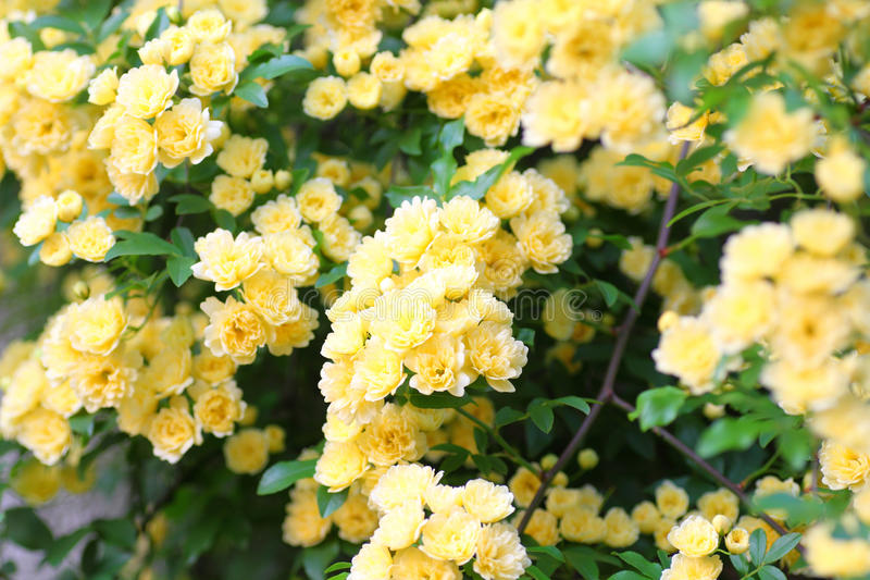 O Banksia aumentou foto de stock royalty free