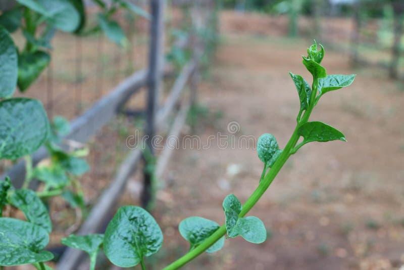 O Basella alba ou o Basellaceae, tronco da hera, suculento, liso, redondo, provêm com a folha verde, única, planta carnuda vegeta foto de stock royalty free