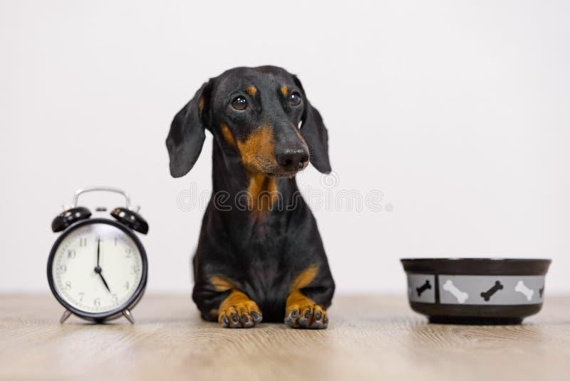 O bassê preto e bronzeado da raça do cão senta-se no assoalho com uma bacia e um despertador, no olhar pequeno bonito do focinho  foto de stock royalty free
