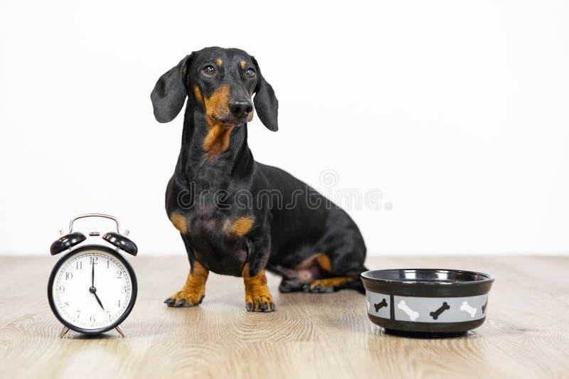 O bassê preto e bronzeado da raça do cão senta-se no assoalho com uma bacia e um despertador, no olhar pequeno bonito do focinho  imagem de stock