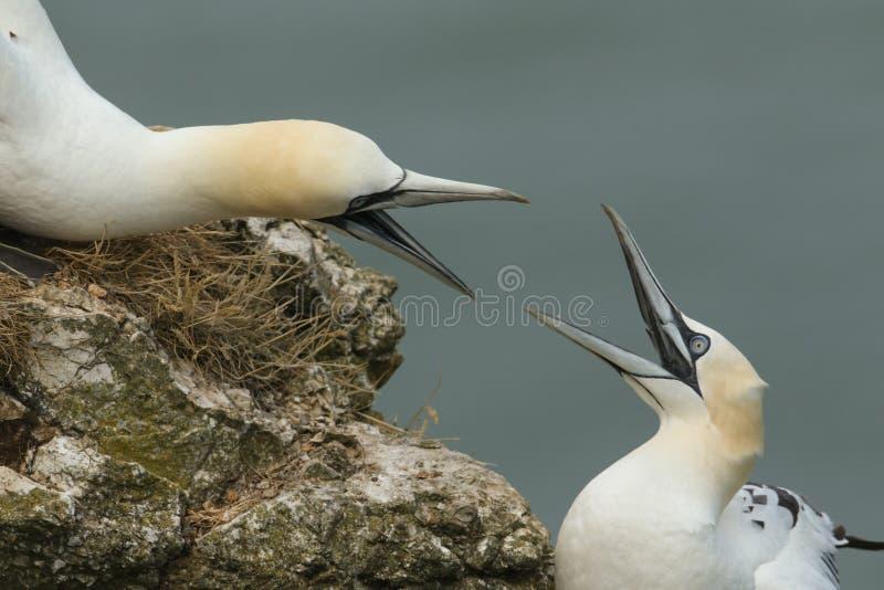 O bassanus magnífico do Morus do albatroz dois com seus bicos abre a luta na borda de um penhasco no Reino Unido foto de stock