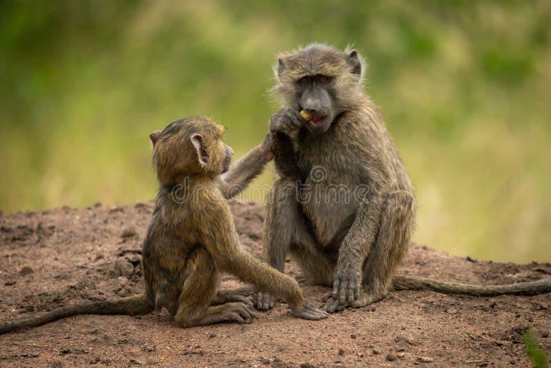 O bebê alcança para o alimento do babuíno verde-oliva imagens de stock royalty free