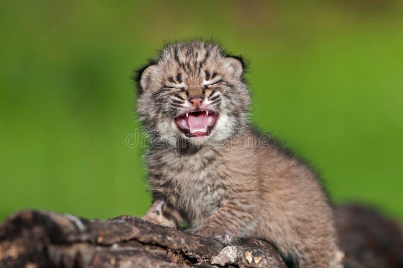 O bebê Bobcat Kit (rufus do lince) grita sobre o log imagem de stock royalty free