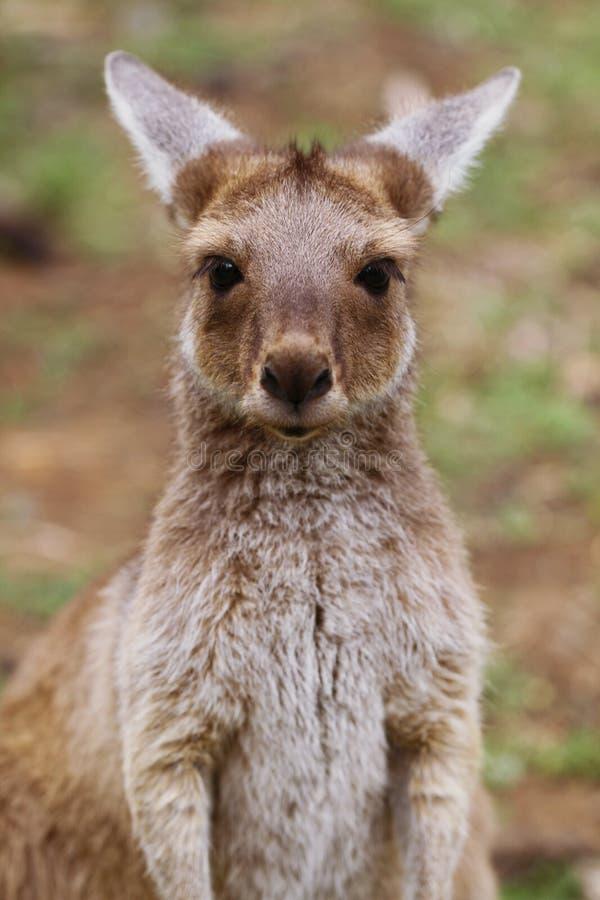 O bebê cinzento ocidental do canguru (fuliginosus do Macropus) imagem de stock