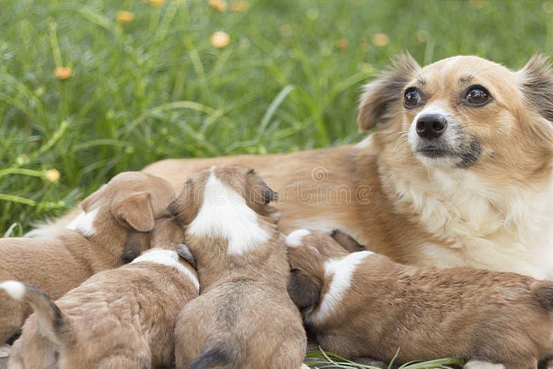 O bebê do cão da chihuahua come o leite fotografia de stock