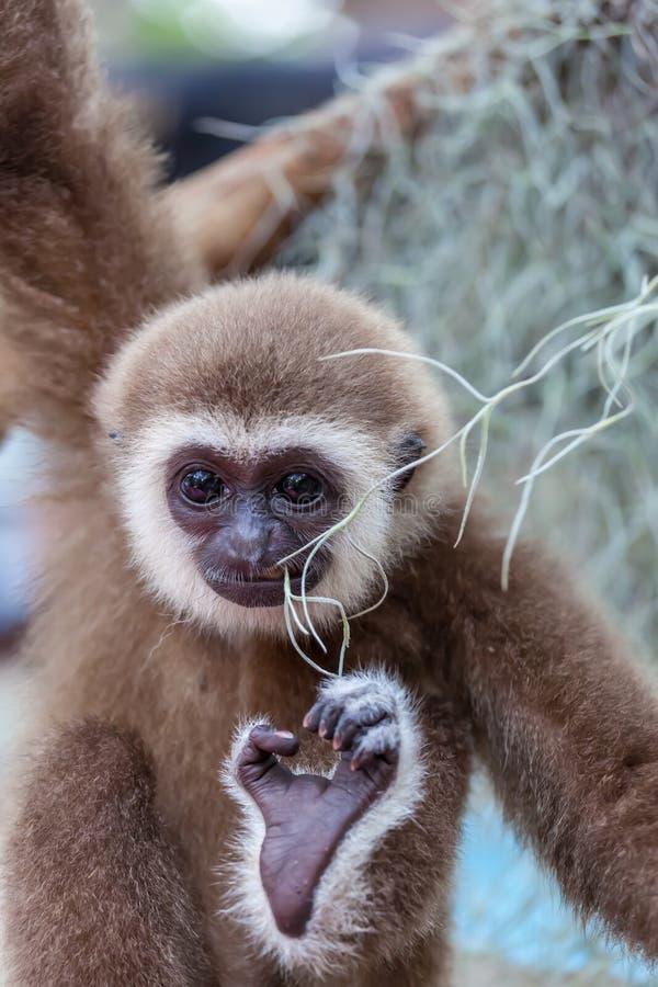 O bebê do gibbon do branco-mordente fotos de stock royalty free