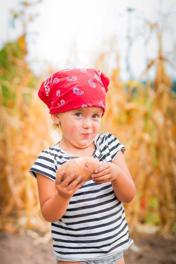 O bebê no jardim com colheita da batata em seus braços próximo coloca o fundo seco do milho Criança suja no bandana vermelho fotografia de stock royalty free