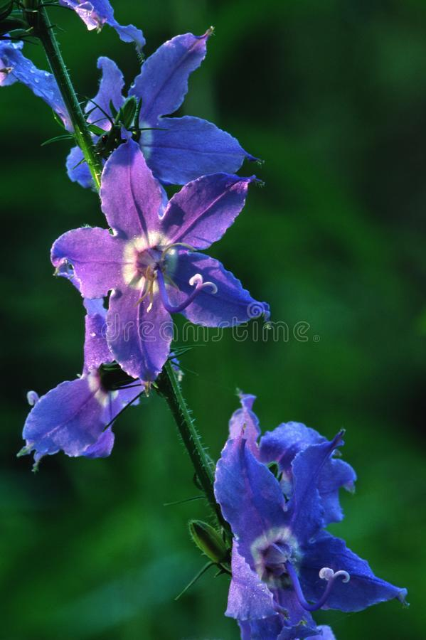 O bellflower azul alto brilha na luz da manhã fotos de stock royalty free