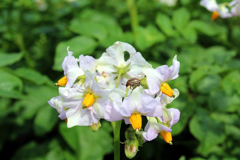 O besouro de batata de Colorado senta-se em uma flor do tiro da batata fotos de stock