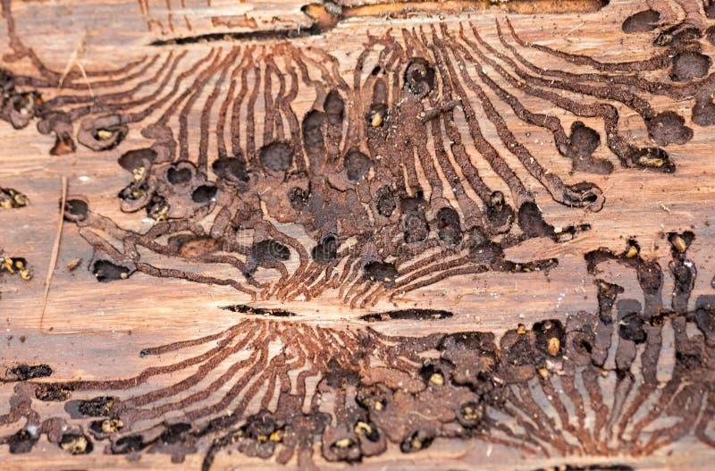 O besouro de casca spruce europeu Traços de uma praga em uma casca de árvore imagem de stock