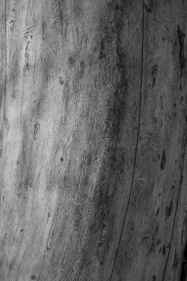 O besouro de casca spruce europeu Traços de uma praga em uma casca de árvore fotos de stock