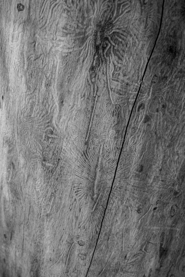 O besouro de casca spruce europeu Traços de uma praga em uma casca de árvore foto de stock