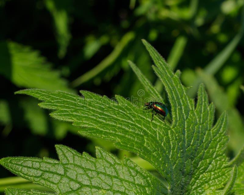 O besouro de folha colorido vagueia em torno de uma folha verde de plantas selvagens novas dos cannabis imagens de stock royalty free