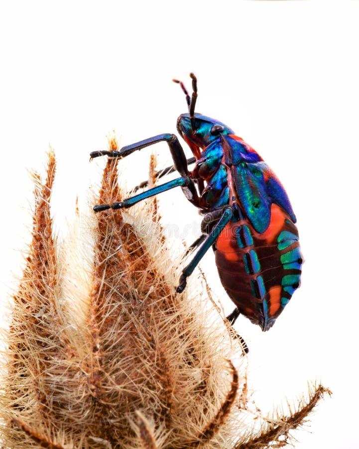 O besouro de Harliquin é um erro brilhantemente colorido foto de stock