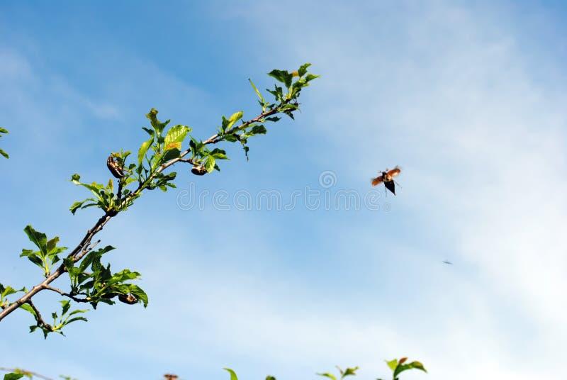 O besouro de maio senta-se em um ramo fotos de stock royalty free